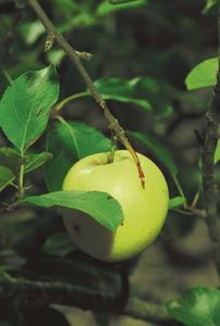 Una poma, fruit de la pomera. Foto: David Carrera Bonet.
