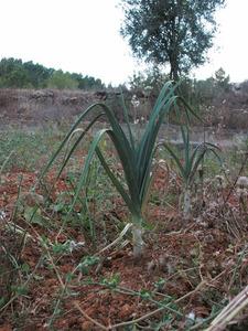 Un porro, planta biennal de fulles planes, que creixen atapeïdes a la base, cultivada als horts. Foto: M. Marí.
