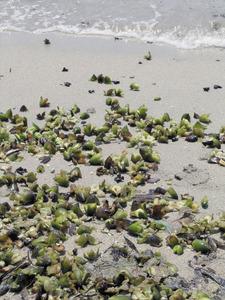Llavors de <em>Posidonia oceanica</em>, planta monocotiled&ograve;nia de la fam&iacute;lia de les posidon&agrave;cies. Foto: Neus Prats.