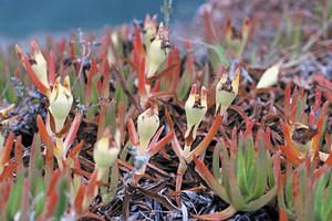 Fruits i fulles de la pota de gall, planta ornamental que pot esdevenir invasora. Foto: David Carrera Bonet.
