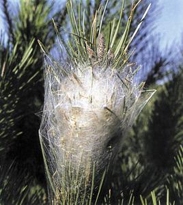 La processionària és un insecte que ataca en especial els pins: niu de seda. Foto: <em>Història Natural dels Països Catalans</em>.