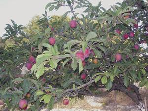 Un pruner, arbre de la família de les rosàcies molt freqüent als camps pitiüsos. Foto: Felip Cirer Costa.