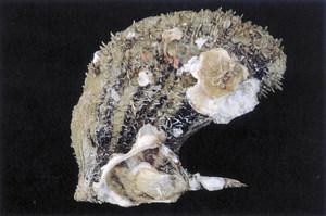 L´ostra d´ales, l´únic repreesntant a les Pitiüses de la família dels ptèrids. Foto: cortesia de l´<em>Enciclopèdia de Menorca</em>.