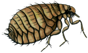 DIbuix d´una puça extret de la publicació<em> Insectes de les Illes Balears</em>.