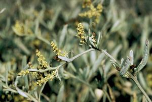 Herba blanca, planta de la família de les quenopodiàcies. Foto: David Carrera Bonet.