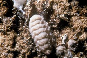 Un altre dels mol·luscos coneguts amb el nom de quitó. Foto: Rainer Klingner.