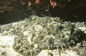 Un rap, peix de la família dels lòfids, amb capacitat per mimetitzar-se amb el fons de la mar.