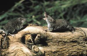 El petit mamífer conegut com a rat grill o musaranya. Foto: Antonio Manzanares.
