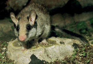 Una rata de coua blanca, present únicament a Formentera. Foto: David Carrera Bonet.