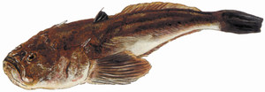 El peix teleosti de cos allargat i cap rabassut i cuirassat conegut popularment amb el nom de rata (<em>Uranoscopus scaber</em>). Extret de <em>Peixos de les Illes Balears</em>.