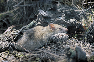 Una rata traginera de camp (<em>Rattus rattus</em>), present en ambients rurals on no la desplaça la rata grisa (<em>Rattus norvegicus</em>). Foto: David Carrera Bonet.