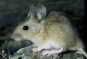 Un ratolí. Foto: David Carrera Bonet.