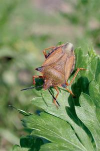 Una xinxa, insecte de la família dels redúvids. Foto: Neus Prats.