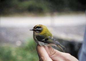 El petit ocell conegut com reietó, que es considera l´au més petita d´Europa. Foto: Marta Tur Riera.