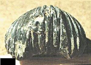 Plec frontal d´un braquiòpode de la superfamília dels rinconèl·lids. Foto: Alberto Tostón Calle.