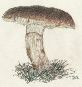 El fong <em>Tricholoma fracticum</em>, conegut amb el nom de rogeta. Dibuix: Jaume Espinosa Noguera.