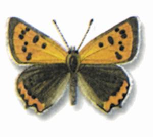 La papallona <em>Lycaena phaleas</em>, coneguda també amb el nom de rogeta. Extret de <em>Les papallones diürnes de les Balears.</em>