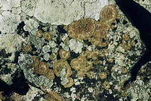 Fongs liquenificats coneguts com roses de roca. Foto: David Carrera Bonet.