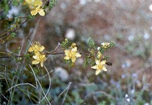 El sacorrell <em>Hypericum balearicum</em>. Extret de<em> Nova aportació al coneixement de les plantes d´Eivissa i Formentera</em>.