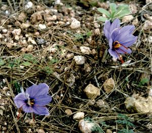 Safrà (<em>Crocus sativus</em>). Foto: Felip Cirer Costa.