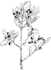 Dibuix d´<em>Osyris quadripartita</em>, planta de la família de les santalàcies. Extret de<em> Nova aportació al coneixement de les plantes d´Eivissa i Formentera</em>.
