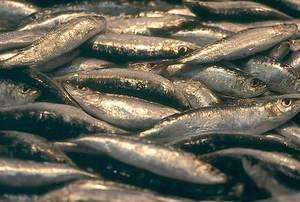 Exemplars de sardina, peix de la família dels clupeids, d´important valor comercial. Foto: Josep Castelló Escandell.