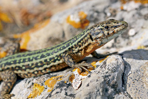 Sargantana. <em>Podarcis pityusensis pityusensis</em> (Eivissa). Foto: Jordi Serapio Riera.