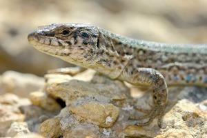 Sargantana. <em>Podarcis pityusensis espalmadoris</em> (s´Espalmador). Foto: Jordi Serapio Riera.
