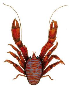 Dibuix de Núria Valverde Costa del crustaci conegut com sastre (<em>Balathea strigosa</em>).