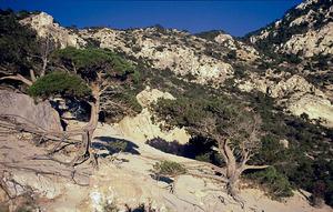 La savina és una espècie molt abundant a les Pitiüses, tant en forma arbustiva com arbòria. Foto: David Carrera Bonet.