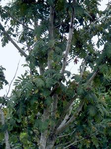 Detall d´una servera, arbre escàs al camp pitiús. Els seus fruits són les serves. Foto: M. Marí.