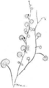 Dibuix de Josep Escandell de la planta coneguda amb el nom de sibtòrpia. Extret de <em>Nova aportació al coneixement de les plantes d´Eivissa i Formentera</em>.
