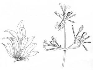 Dibuix de Josep Escandell de la planta silene d´Ifac. Extret de <em>Nova aportació al coneixement de les plantes d´Eivissa i Formentera.</em>
