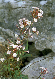 La planta denominada silene d´Ifac, subespècie <em>hifacensis</em>, pròpia de les Pitiüses. Fou descoberta el 1883 pel botànic francès Georges Rouy als penya-segats d´Ifac. Extret de <em>Nova aportació al coneixement de les plantes d´Eivissa i Formentera.</em>