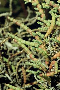 La solsera és un arbust amb minúscules fulles en forma d´escametes arredonides, que viu en saladars molt humits. Foto: David Carrera Bonet.
