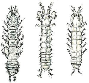 Dibuix de Núria Valverde Costa de diversos exemplars de crustacis de l´ordre dels tanaidacis.