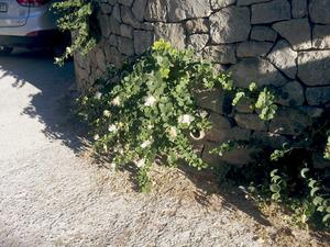 Una taperera, planta de la família de les caparàcies. Foto: Felip Cirer Costa.