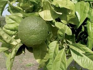 El fruit del taronger agre, utilitzat per rentar els budells del porc de les matances. Foto: Cdristòfol Guerau d´Arellano Vilanova.