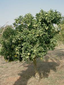 Un taronger. Aquest arbre fou introduït a les Pitiüses des de molt antic, i és present a tots els horts. Foto: Cristòfol Guerau d´Arellano Vilanova.