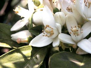 Flor d´un taronger. Foto: M. Marí.