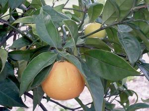 Fruit d´un taronger. Foto: Cristòfol Guerau d´Arellano Vilanova.