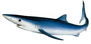 Dibuix del tauró conegut com a tintorera, inclòs en la categoria de peixos vulnerables de les Balears. Dibuix: Juan A. Moreno / <em>Història Natural dels Països Catalans</em>.