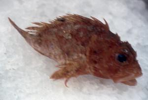 Exemplar de tinyós, peix de la família dels escorpènids. Foto: Josep Castelló Escandell.