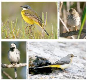 Diverses espècies presents a les Pitiüses del petit ocell de la família dels motacíl·lids conegut com a titina: d´esquerra a dreta i de dalt a baix, titina groga (<em>Motacilla flava</em>), titina borda (<em>Anthus pratensis</em>), titina blanca (<em>Motacilla alba</em>) i titina de la Mare de Déu (<em>Motacilla cinerea</em>). Fotos: Jordi Serapio Riera.