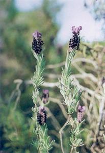<em>Lavandula stoechas</em>, tomaní. Foto: extret de <em>Nova aportació al coneixement de les plantes d´Eivissa i Formentera.</em>