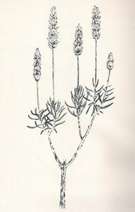 Dibuix d´una <em>Lavandula dentata</em>. Foto: extret de <em>Nova aportació al coneixement de les plantes d´Eivissa i Formentera.</em>