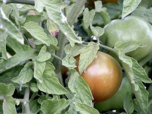 Tomatera: detall d´una planta amb els fruits globosos comestibles. Foto: M. Marí.