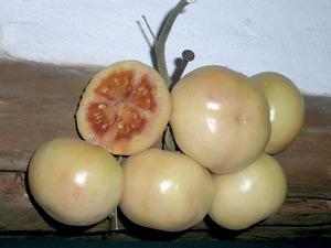 Tomatera: exemplars de tomates de penjar, que es caracteritzen per la seua duració una vegada collides i penjades de canyes o fils. Foto: Cristòfol Guerau Vilanova.