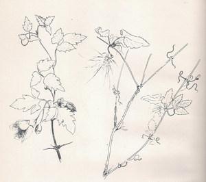 Dibuix de la planta coneguda com a tombabarres (<em>Clematis cirrhosa</em>). Extret de <em>Nova aportació al coneixement de les plantes d´Eivissa i Formentera</em>.