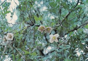 La planta coneguda amb el nom de tombabarres. Extret de<em> Nova aportació al coneixement de les plantes d´Eivissa i Formentera</em>.